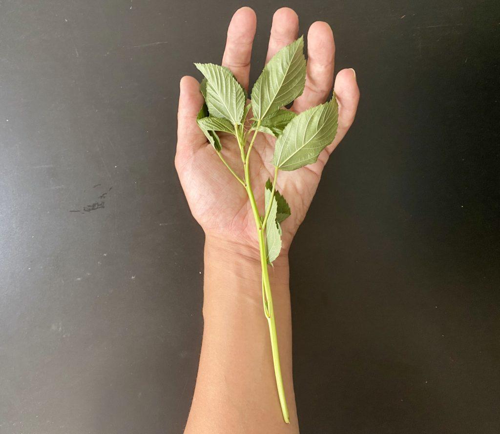 無農薬野菜のミレーモロヘイヤ